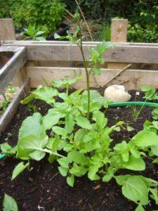 10-26-05-2016-rauke-und-pflanzung-zucchini